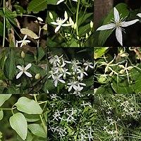 Clematis terniflora (Montage s2).jpg