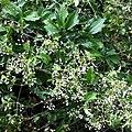 Clematis virginiana SCA-0293.jpg