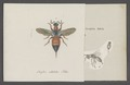 Cleptes - Print - Iconographia Zoologica - Special Collections University of Amsterdam - UBAINV0274 046 01 0043.tif
