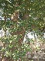 Cleyera japonica1.jpg