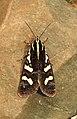 Clicking Forester Aegocera bimacula by Dr. Raju Kasambe DSCN6647 04.jpg