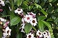 Climbing Oleander(Strophanthus gratus) 4199.jpg