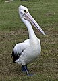 Clontarf Pelican waiting for a fish-1 (6989377027).jpg
