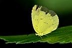 Close wing position of Eurema hecabe Linnaeus, 1758 – Common Grass Yellow WLB DSC 3904.jpg