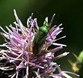 Closterotomus norwegicus - Flickr - S. Rae (2).jpg