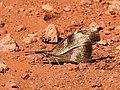 Club Beak Libythea myrrha by Dr. Raju Kasambe DSCN4979 (3).jpg