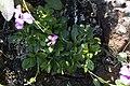 Coast rock cress full plant.jpg