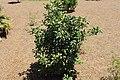 Coastal Georgia Botanical Gardens, Hybrid Magnolia magnolia 'Jane'.jpg