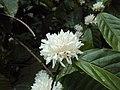 Coffea canephora 3.JPG
