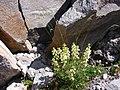 Coiled Beak lousewort on 1st Burroughs. (924700271b544d01a7521569993601ec).JPG