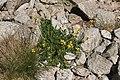 Coincya monensis plant (2).jpg