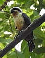 Collared Falconet Microhierax caerulescens by Dr. Raju Kasambe DSCN2045 (3).jpg