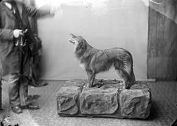 Collie dog NLW3363262.jpg