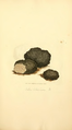 Coloured Figures of English Fungi or Mushrooms - t. 309.png