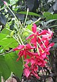 Combretum indicum flowers at Periya 2018 (3).jpg