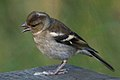 Common Chaffinch (Fringilla coelebs) - Oslo, Norway (03).jpg