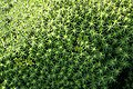 Common Haircap Moss (Polytrichum commune) - geograph.org.uk - 343402.jpg