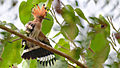 Common Hoopoe at IIT Delhi.jpg
