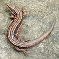 Common Lizard (Zootoca vivipara) - geograph.org.uk - 1111043.jpg