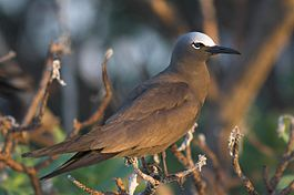 Common Noddy.jpg