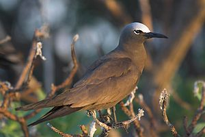 Brown noddy - Image: Common Noddy
