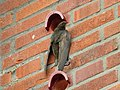 Common Swift (Apus apus) clinging to wall.jpg