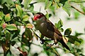 Common Waxbill in Makiki.jpg