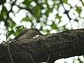 Common Woodshrike in Tamil Nadu.jpg