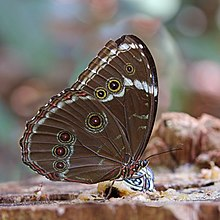 Common blue morpho (Morpho helenor helenor).jpg