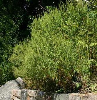 Ambrosia artemisiifolia - Image: Common ragweed at distance