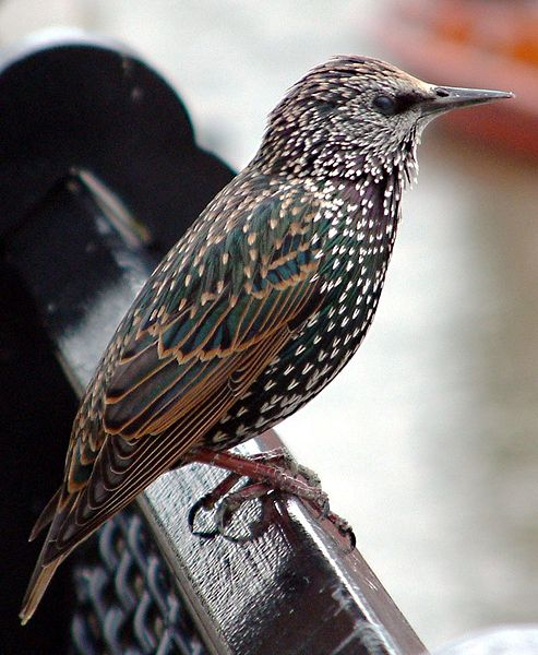 File:Common starling in london.jpg