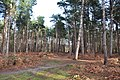 Conifer plantation - geograph.org.uk - 1691336.jpg
