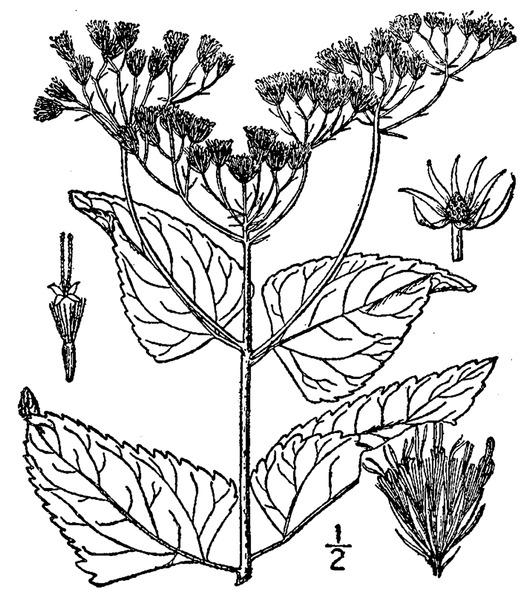 File:Conoclinium coelestinum (L.) DC. Blue mistflower.tiff