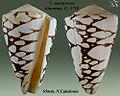 Conus marmoreus 3.jpg