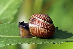 240px copse snail (arianta arbustorum)