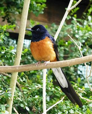 White-rumped shama - Male at Durrell Wildlife Park, Jersey