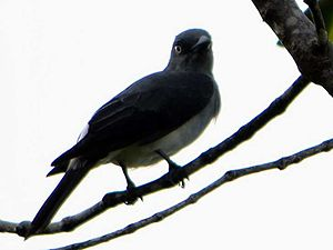 White-rumped cuckooshrike
