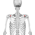Coracoid process of scapula02.png