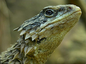 Giant girdled lizard - Smaug giganteus
