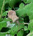 Coreus marginatus (Hemiptera, Coreidae) - Flickr - gailhampshire.jpg