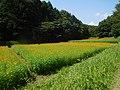 Cosmos sulphureus field in Utsunomiya.jpg