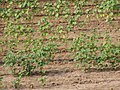 Cotton Field P6250064.jpg