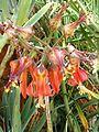 Cotyledon orbiculata var oblonga, bloeiwyse, b, Waterberg.jpg