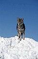 Coyote006 (26841418012).jpg