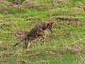 Coyote Hunting Rodents in Santa Teresa County Park (30035278974).jpg