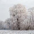 Crack willow Lodz(Poland)(js).06.jpg