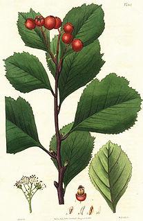 <i>Crataegus sanguinea</i> species of plant