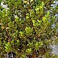 Creosote-Bush b (4485554508).jpg