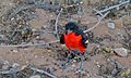 Crimson-breasted Shrike (Laniarius atrococcineus) (6499241031).jpg