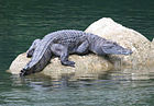 Crocodylus mindorensis basking on a rock in the Disulap River, Barangay Disulap - ZooKeys-266-001-g102.jpg